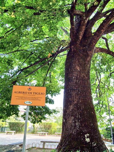 Foto summonte campania for Tiglio albero